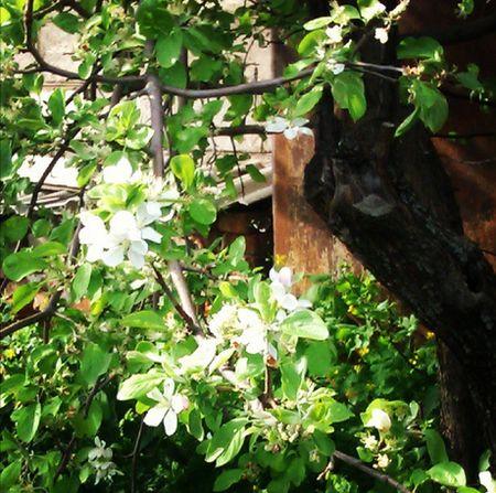 яблоня белая-450.jpg